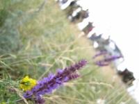 Степной цветочек